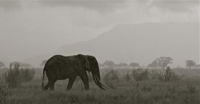 Wide ele bull in rain